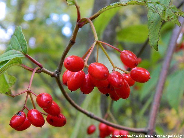 Kalina herbaciana