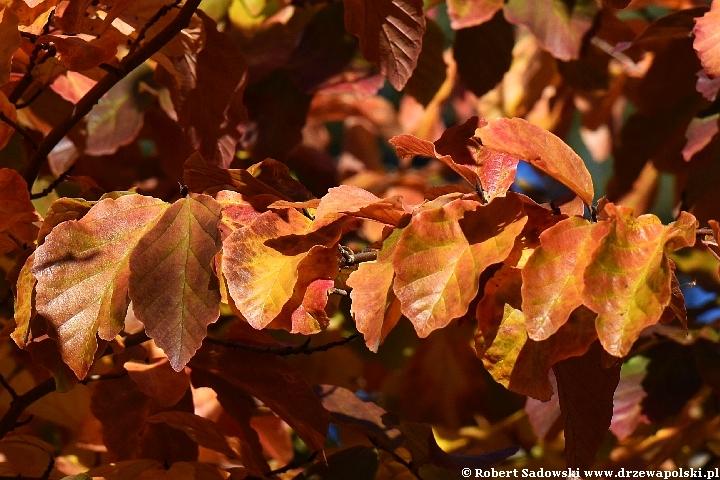 Parocja perska jesienią